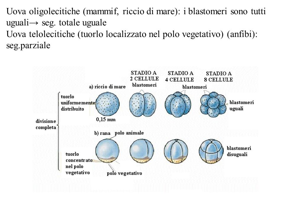 Uova oligolecitiche (mammif, riccio di mare): i blastomeri sono tutti uguali→ seg. totale uguale