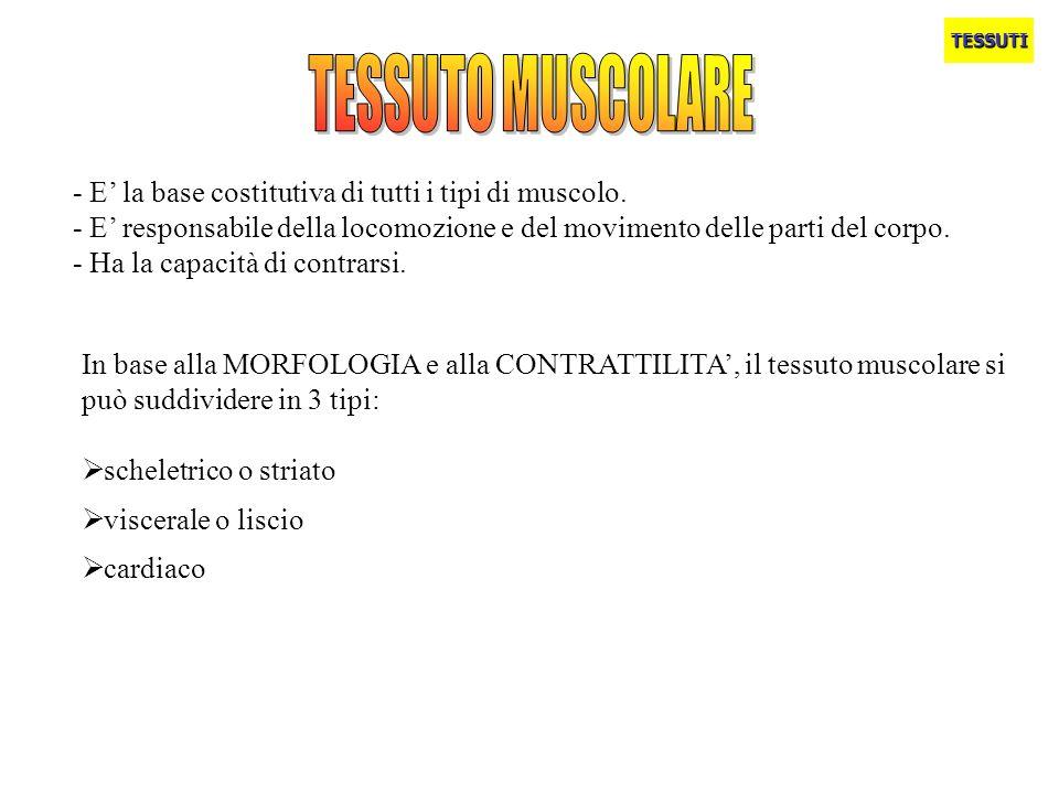 TESSUTO MUSCOLARE - E' la base costitutiva di tutti i tipi di muscolo.