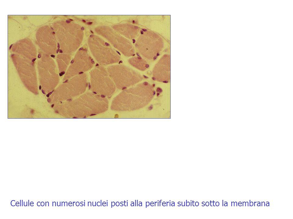 Cellule con numerosi nuclei posti alla periferia subito sotto la membrana