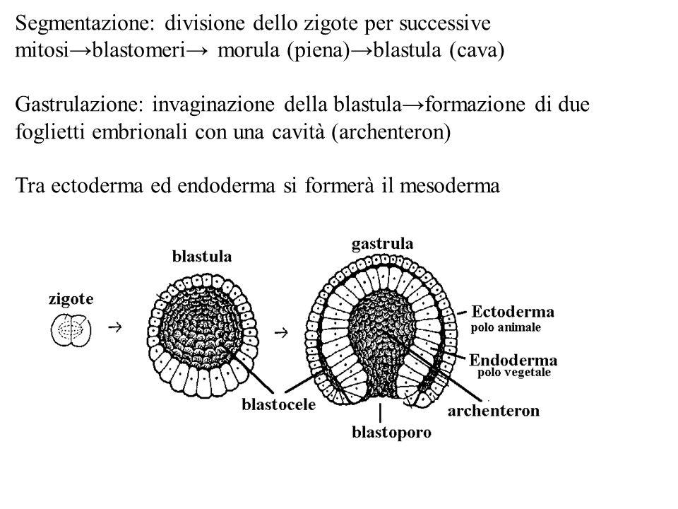 Segmentazione: divisione dello zigote per successive mitosi→blastomeri→ morula (piena)→blastula (cava)