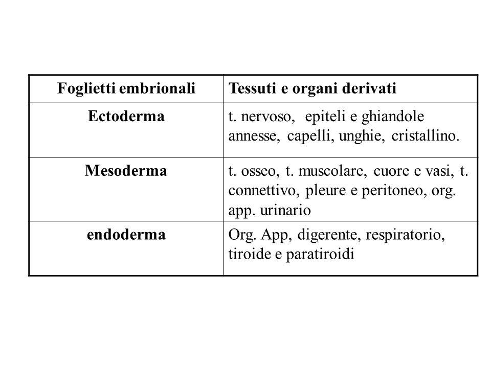 Foglietti embrionali Tessuti e organi derivati. Ectoderma. t. nervoso, epiteli e ghiandole annesse, capelli, unghie, cristallino.