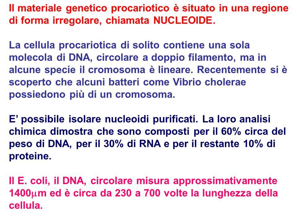 II materiale genetico procariotico è situato in una regione di forma irregolare, chiamata NUCLEOIDE.