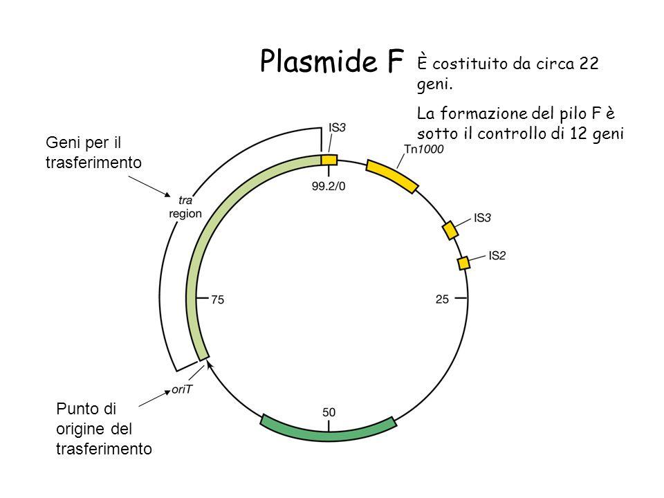 Plasmide F È costituito da circa 22 geni.