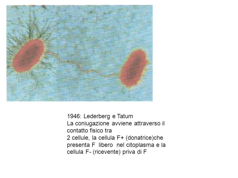 1946: Lederberg e Tatum La coniugazione avviene attraverso il contatto fisico tra. 2 cellule, la cellula F+ (donatrice)che.