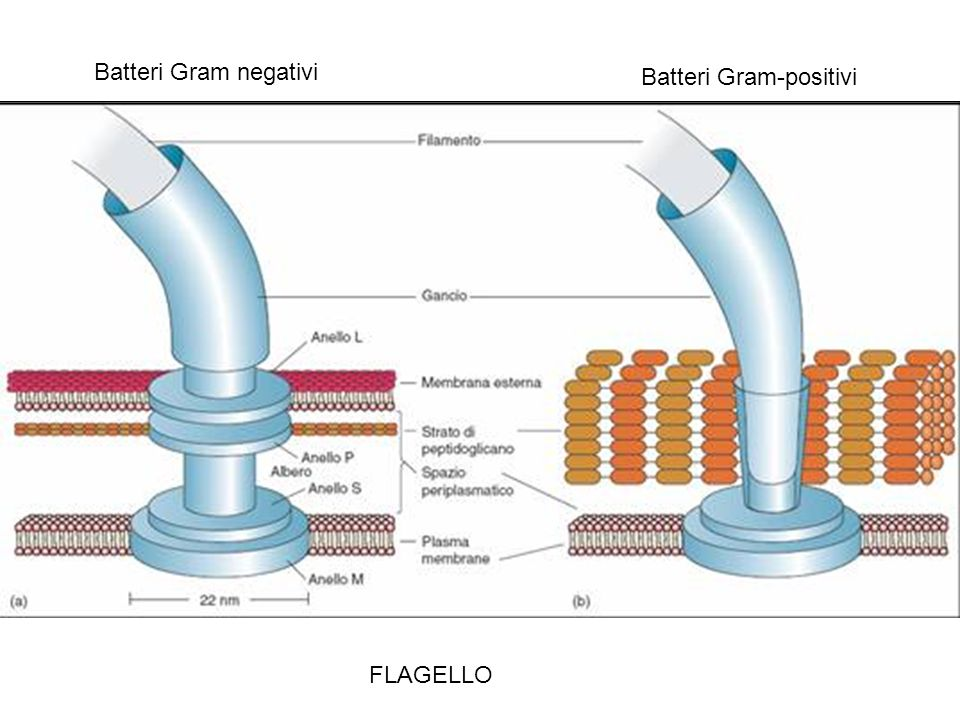 Batteri Gram negativi Batteri Gram-positivi FLAGELLO
