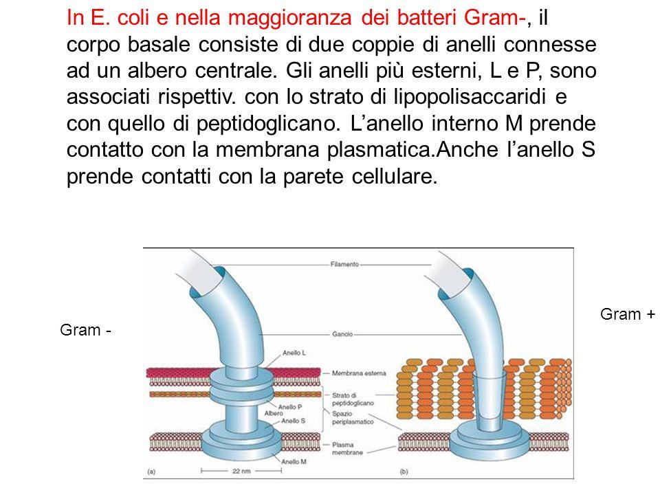 In E. coli e nella maggioranza dei batteri Gram-, il corpo basale consiste di due coppie di anelli connesse ad un albero centrale. Gli anelli più esterni, L e P, sono associati rispettiv. con lo strato di lipopolisaccaridi e con quello di peptidoglicano. L'anello interno M prende contatto con la membrana plasmatica.Anche l'anello S prende contatti con la parete cellulare.