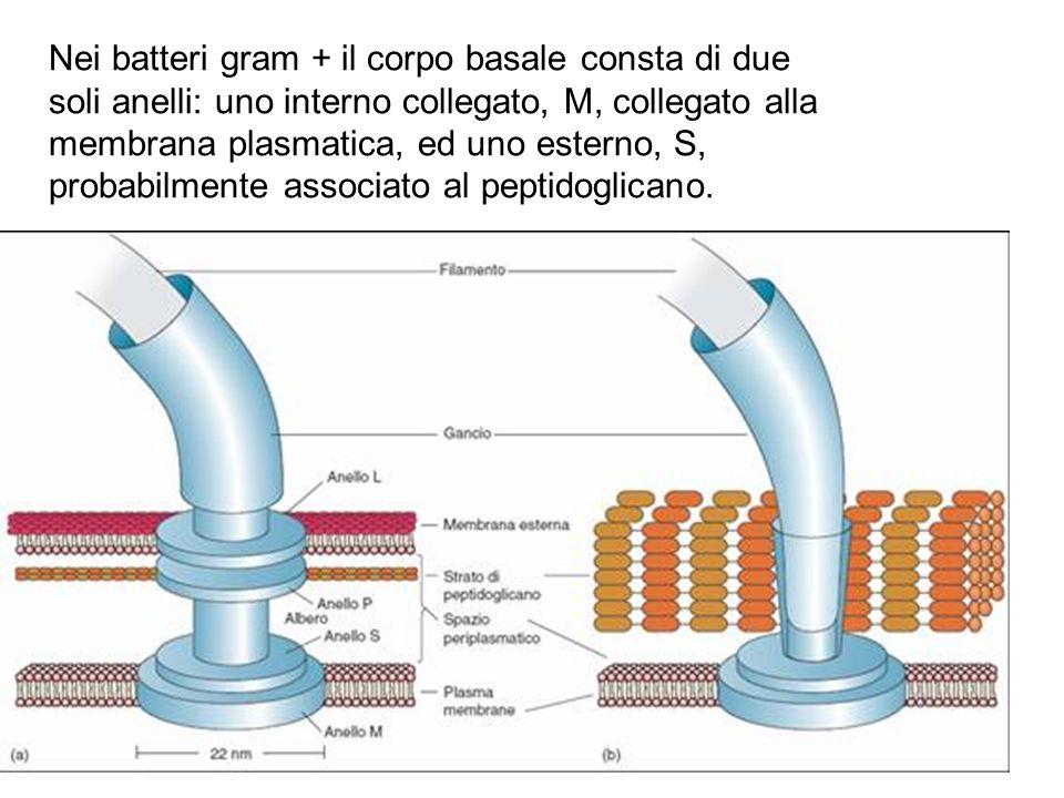 Nei batteri gram + il corpo basale consta di due soli anelli: uno interno collegato, M, collegato alla membrana plasmatica, ed uno esterno, S, probabilmente associato al peptidoglicano.