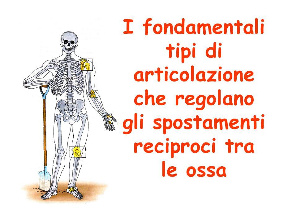 I fondamentali tipi di articolazione che regolano gli spostamenti reciproci tra le ossa