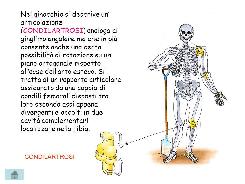 Nel ginocchio si descrive un' articolazione (CONDILARTROSI) analoga al ginglimo angolare ma che in più consente anche una certa possibilità di rotazione su un piano ortogonale rispetto all'asse dell'arto esteso. Si tratta di un rapporto articolare assicurato da una coppia di condili femorali disposti tra loro secondo assi appena divergenti e accolti in due cavità complementari localizzate nella tibia.