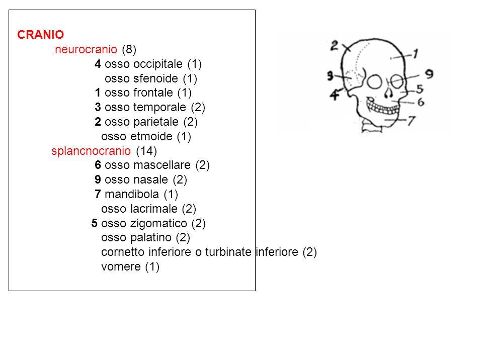 CRANIO neurocranio (8) 4 osso occipitale (1) osso sfenoide (1) 1 osso frontale (1) 3 osso temporale (2)