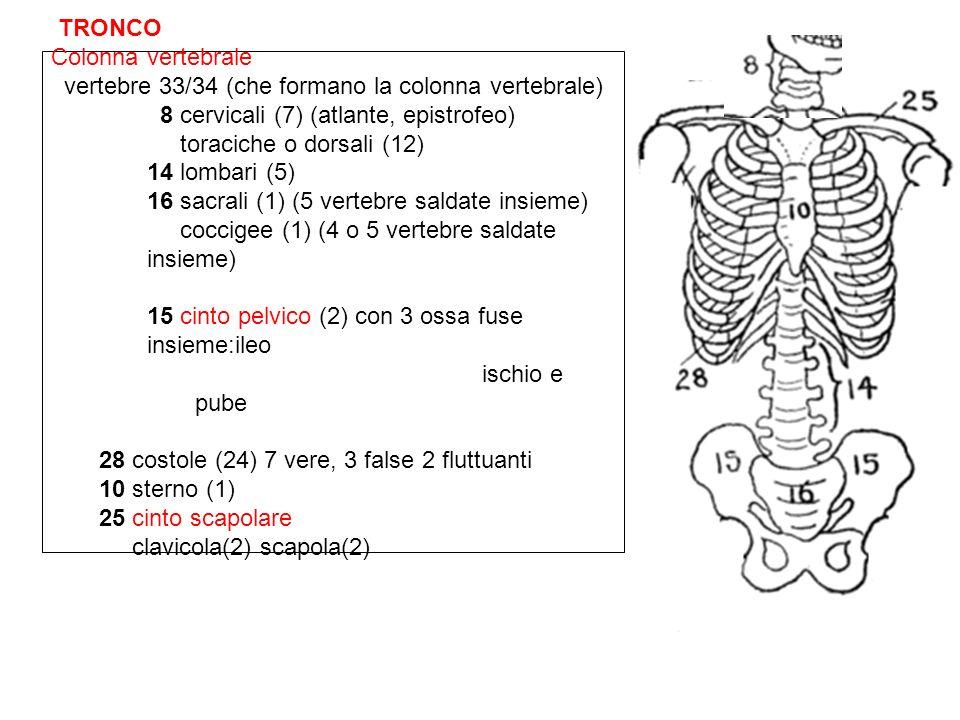 TRONCO Colonna vertebrale. vertebre 33/34 (che formano la colonna vertebrale) 8 cervicali (7) (atlante, epistrofeo)