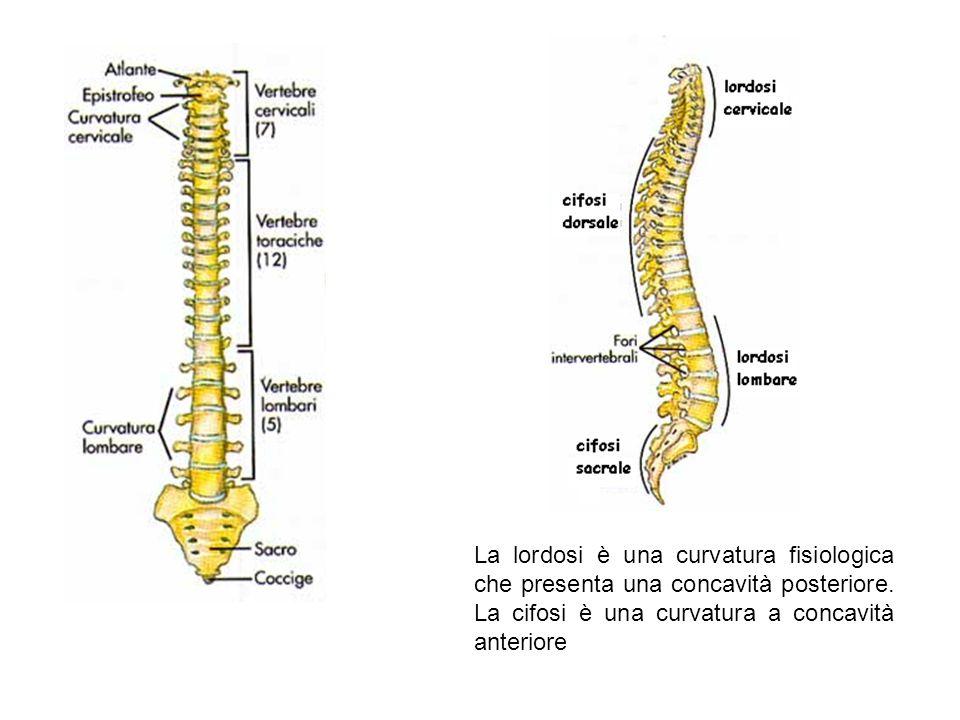 La lordosi è una curvatura fisiologica che presenta una concavità posteriore.