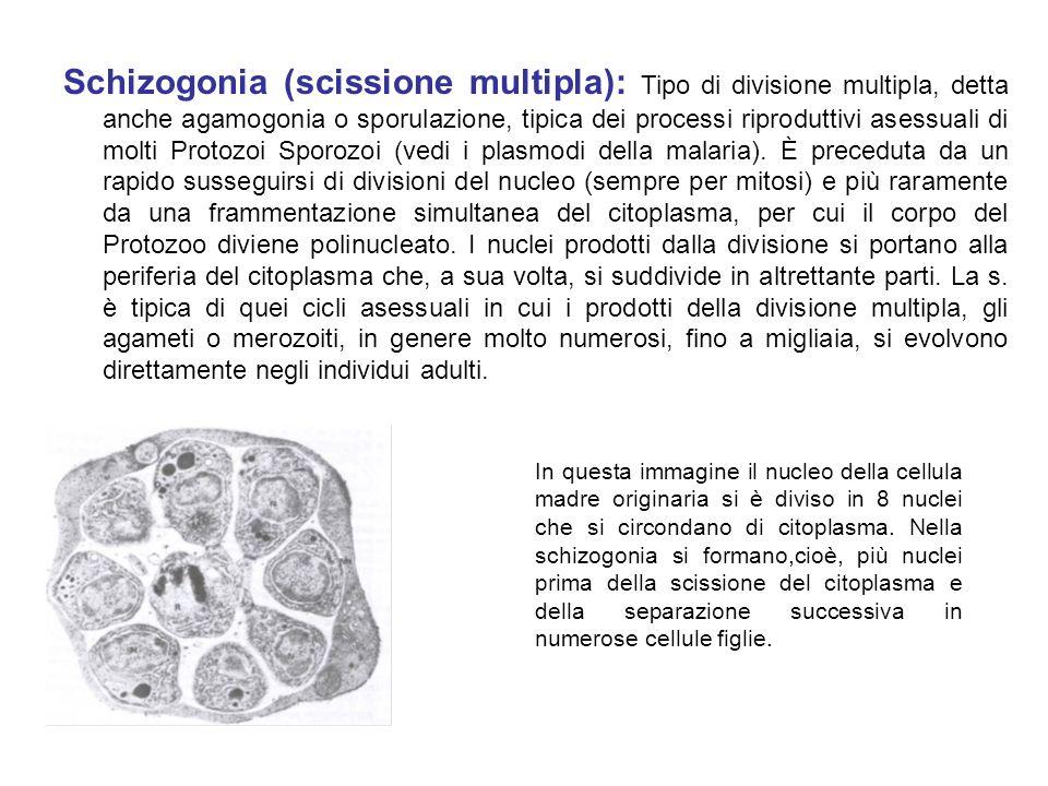 Schizogonia (scissione multipla): Tipo di divisione multipla, detta anche agamogonia o sporulazione, tipica dei processi riproduttivi asessuali di molti Protozoi Sporozoi (vedi i plasmodi della malaria). È preceduta da un rapido susseguirsi di divisioni del nucleo (sempre per mitosi) e più raramente da una frammentazione simultanea del citoplasma, per cui il corpo del Protozoo diviene polinucleato. I nuclei prodotti dalla divisione si portano alla periferia del citoplasma che, a sua volta, si suddivide in altrettante parti. La s. è tipica di quei cicli asessuali in cui i prodotti della divisione multipla, gli agameti o merozoiti, in genere molto numerosi, fino a migliaia, si evolvono direttamente negli individui adulti.