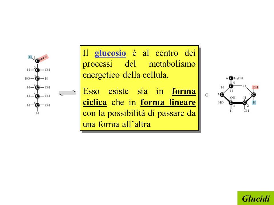 Il glucosio è al centro dei processi del metabolismo energetico della cellula.