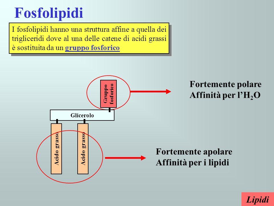 Fosfolipidi Fortemente polare Affinità per l'H2O Fortemente apolare