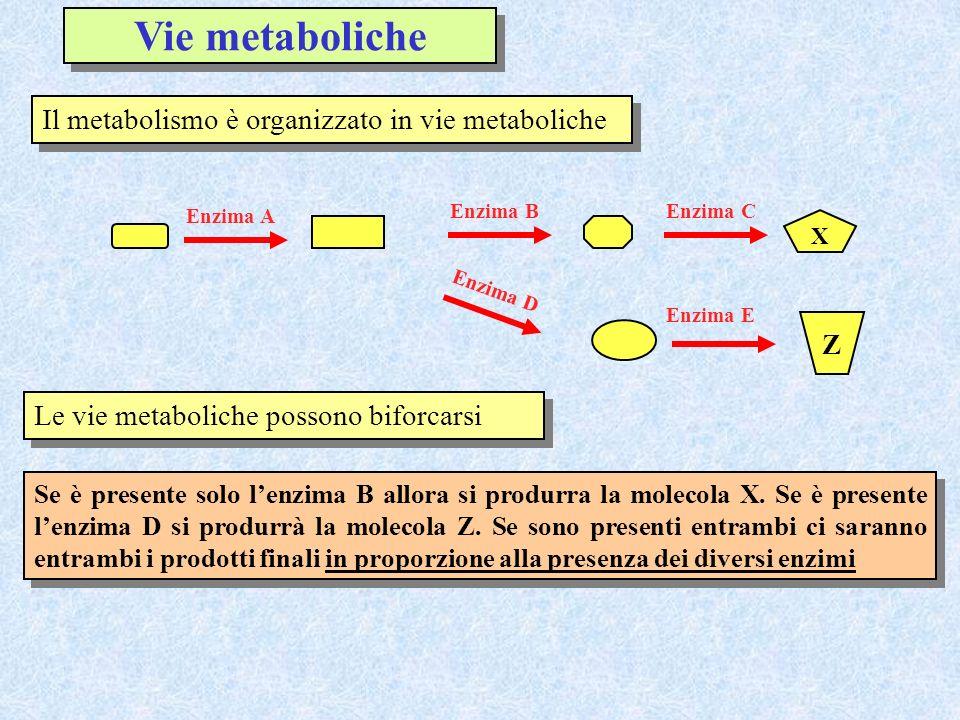 Vie metaboliche Il metabolismo è organizzato in vie metaboliche Z