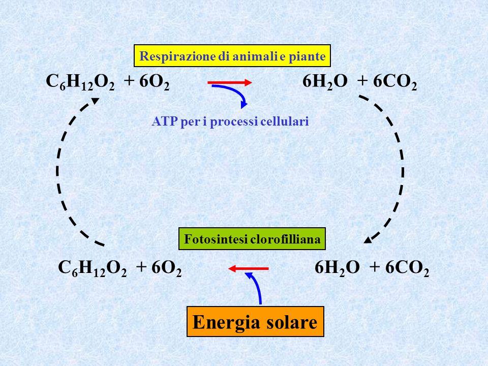Energia solare C6H12O2 + 6O2 6H2O + 6CO2 C6H12O2 + 6O2 6H2O + 6CO2