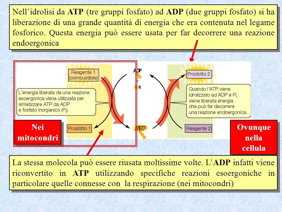 Nell'idrolisi da ATP (tre gruppi fosfato) ad ADP (due gruppi fosfato) si ha liberazione di una grande quantità di energia che era contenuta nel legame fosforico. Questa energia può essere usata per far decorrere una reazione endoergonica