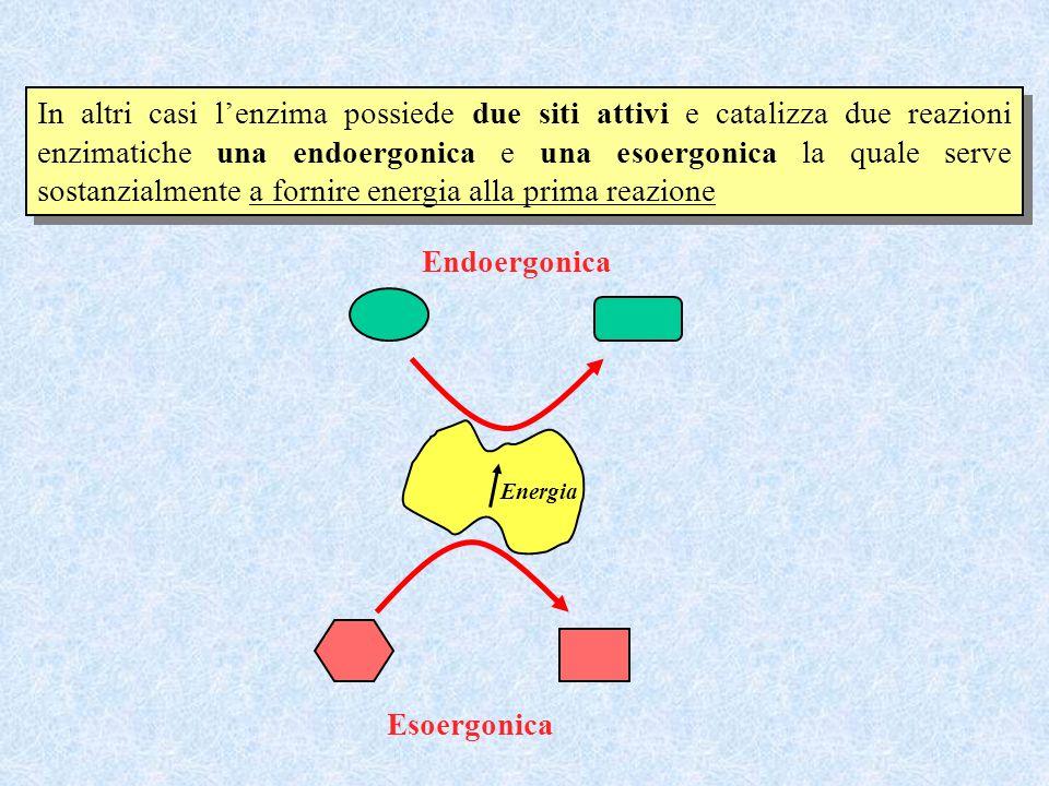 In altri casi l'enzima possiede due siti attivi e catalizza due reazioni enzimatiche una endoergonica e una esoergonica la quale serve sostanzialmente a fornire energia alla prima reazione