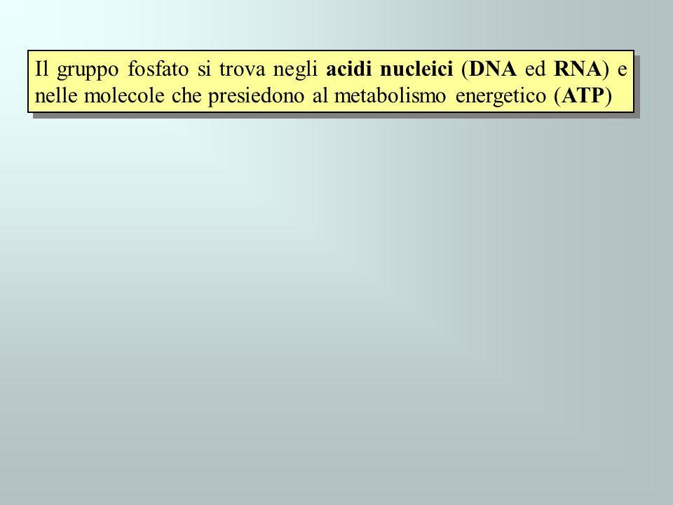 Il gruppo fosfato si trova negli acidi nucleici (DNA ed RNA) e nelle molecole che presiedono al metabolismo energetico (ATP)