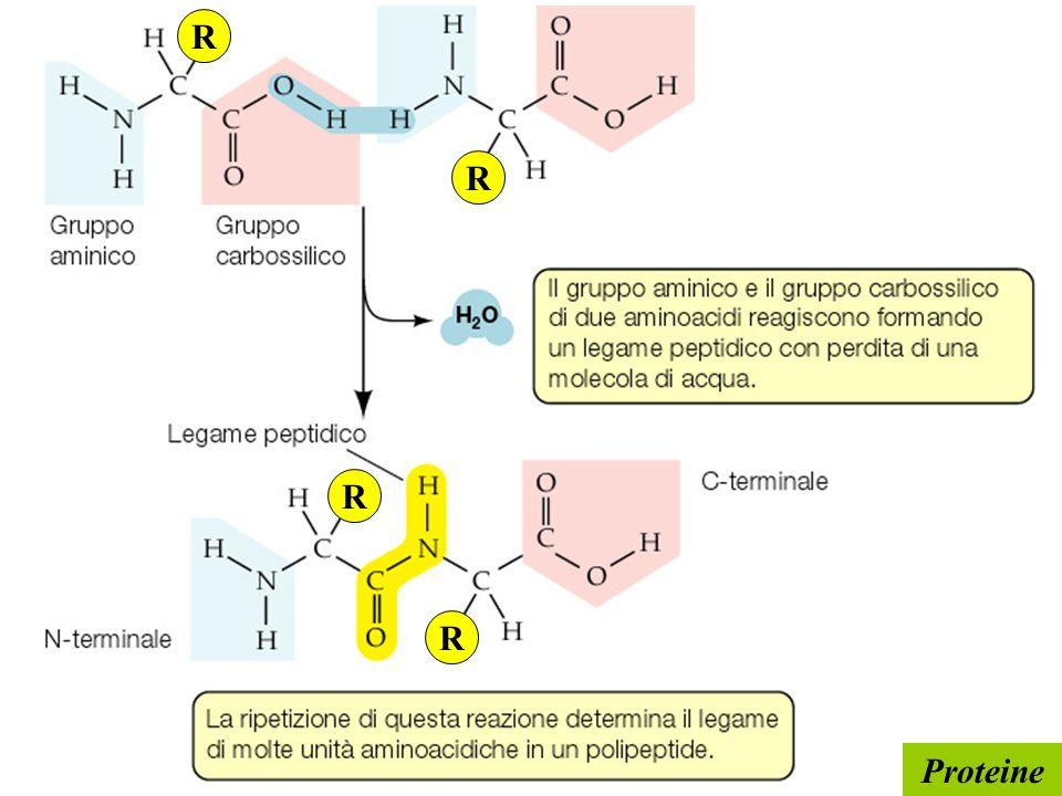 R R R R Proteine