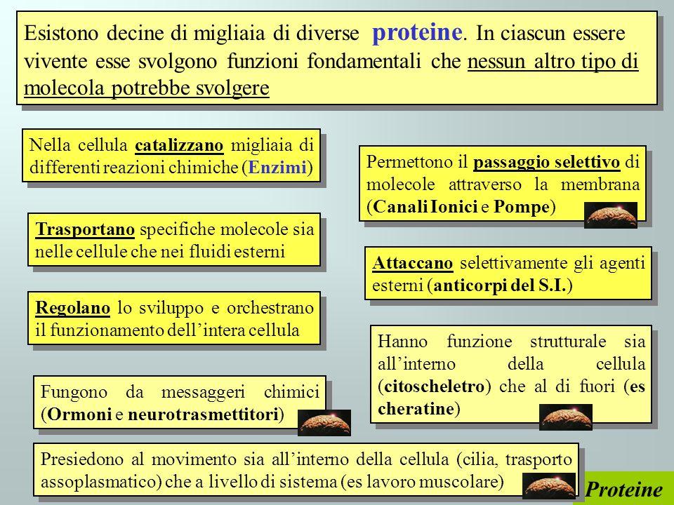 Esistono decine di migliaia di diverse proteine