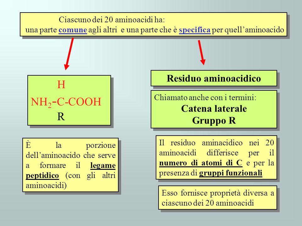 H NH2-C-COOH R Residuo aminoacidico Catena laterale Gruppo R