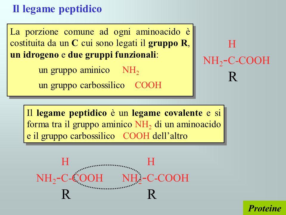 Il legame peptidico H NH2-C-COOH R H NH2-C-COOH R