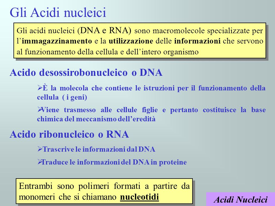 Gli Acidi nucleici Acido desossirobonucleico o DNA