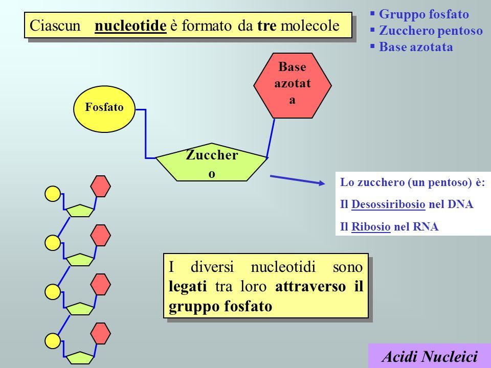 Ciascun nucleotide è formato da tre molecole
