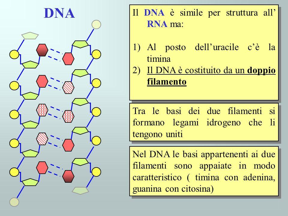 DNA Il DNA è simile per struttura all' RNA ma: