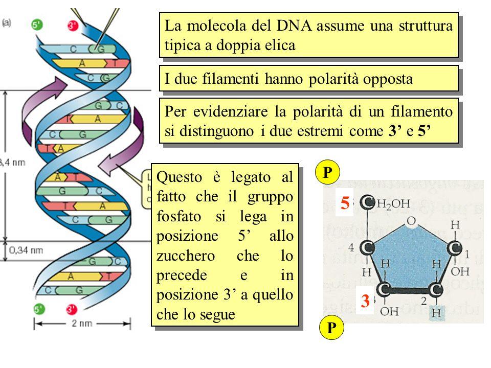 5 3 La molecola del DNA assume una struttura tipica a doppia elica
