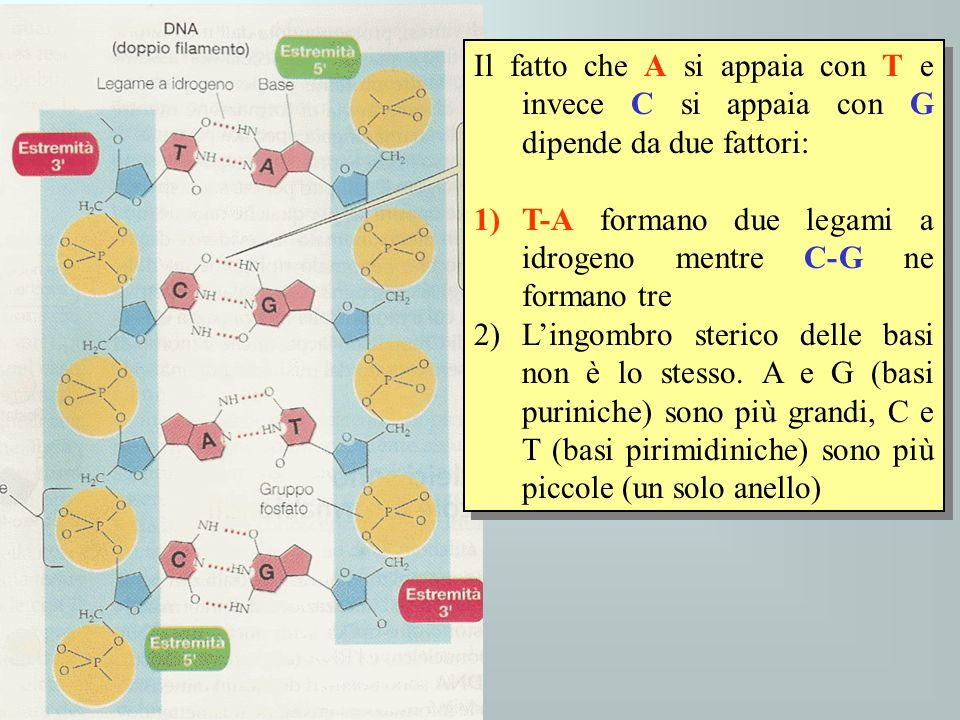 Il fatto che A si appaia con T e invece C si appaia con G dipende da due fattori: