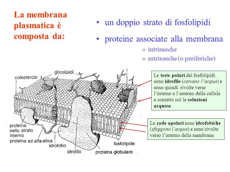 La membrana plasmatica è composta da: un doppio strato di fosfolipidi