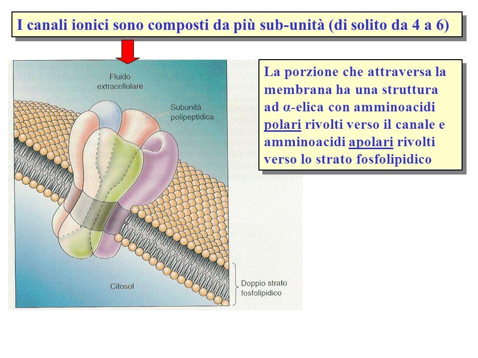 I canali ionici sono composti da più sub-unità (di solito da 4 a 6)
