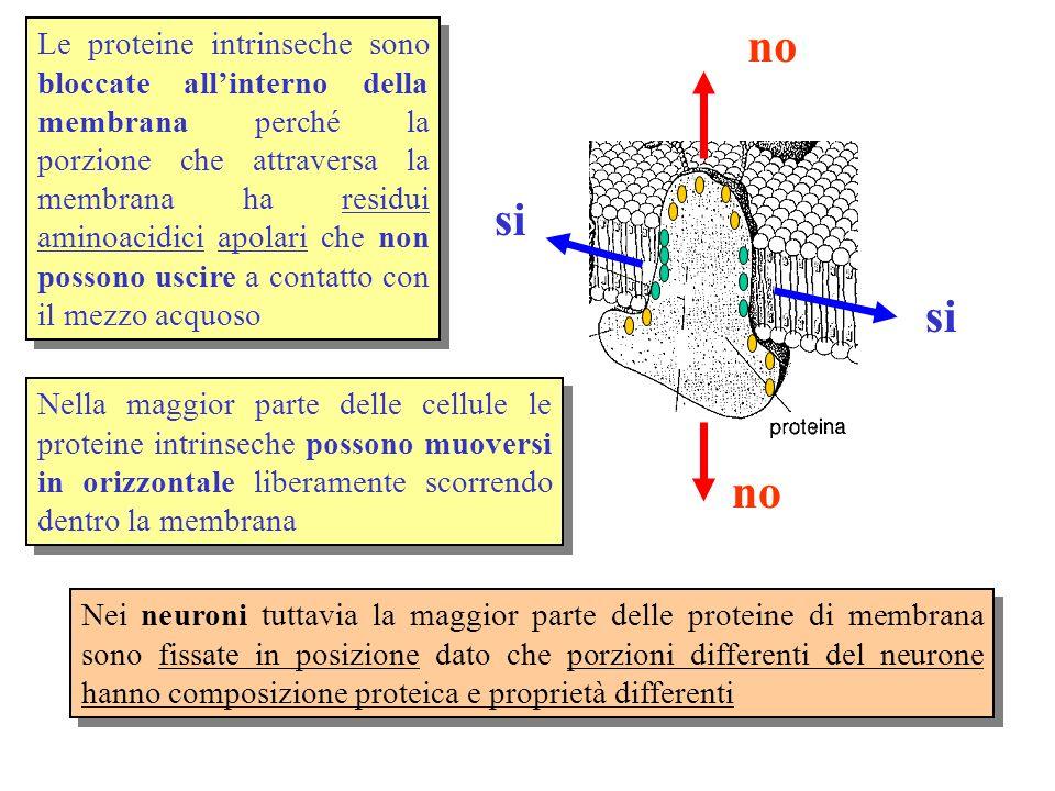 Le proteine intrinseche sono bloccate all'interno della membrana perché la porzione che attraversa la membrana ha residui aminoacidici apolari che non possono uscire a contatto con il mezzo acquoso