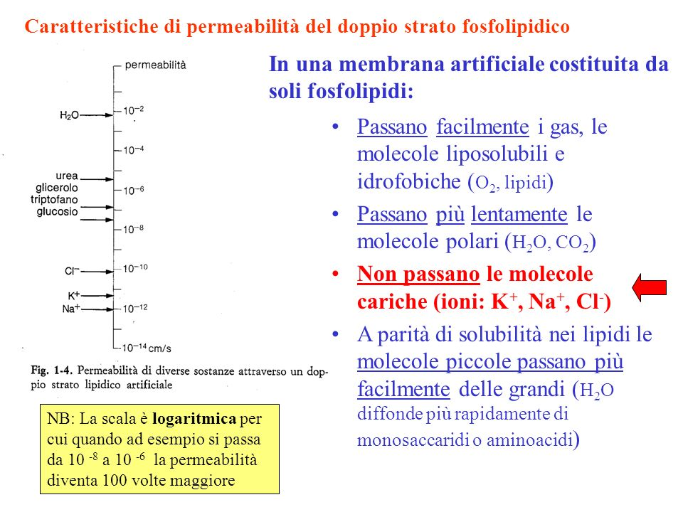 In una membrana artificiale costituita da soli fosfolipidi: