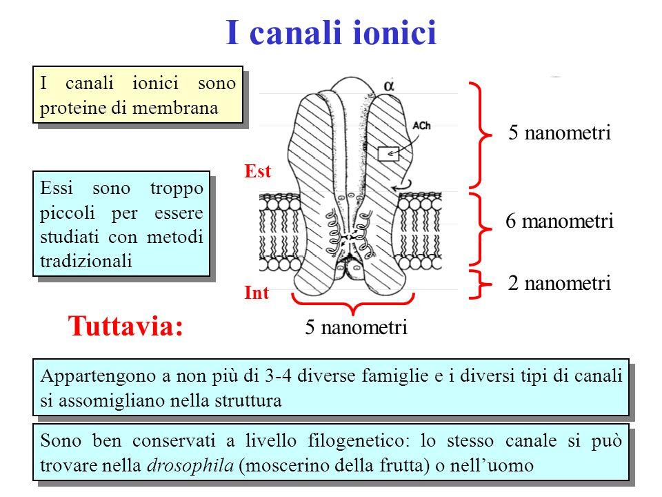 I canali ionici Tuttavia: 5 nanometri 6 manometri 2 nanometri