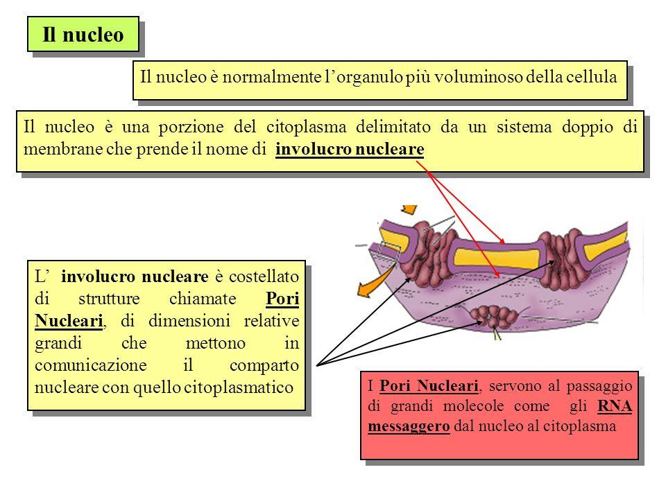 Il nucleo Il nucleo è normalmente l'organulo più voluminoso della cellula.