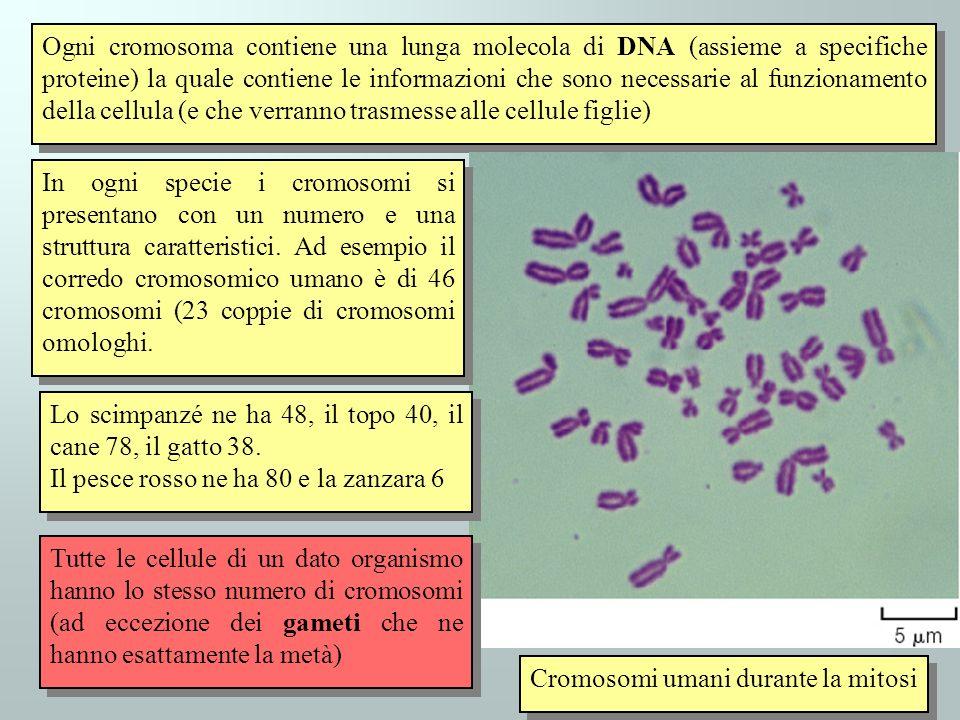 Ogni cromosoma contiene una lunga molecola di DNA (assieme a specifiche proteine) la quale contiene le informazioni che sono necessarie al funzionamento della cellula (e che verranno trasmesse alle cellule figlie)