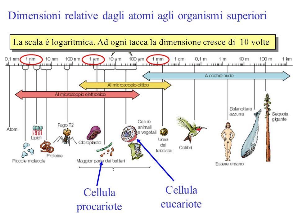 Dimensioni relative dagli atomi agli organismi superiori