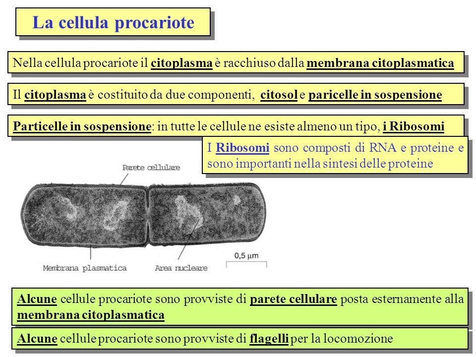 La cellula procariote Nella cellula procariote il citoplasma è racchiuso dalla membrana citoplasmatica.