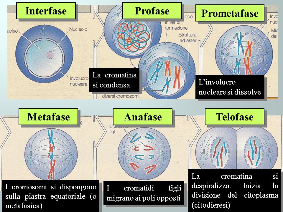 Interfase Profase Prometafase Metafase Anafase Telofase