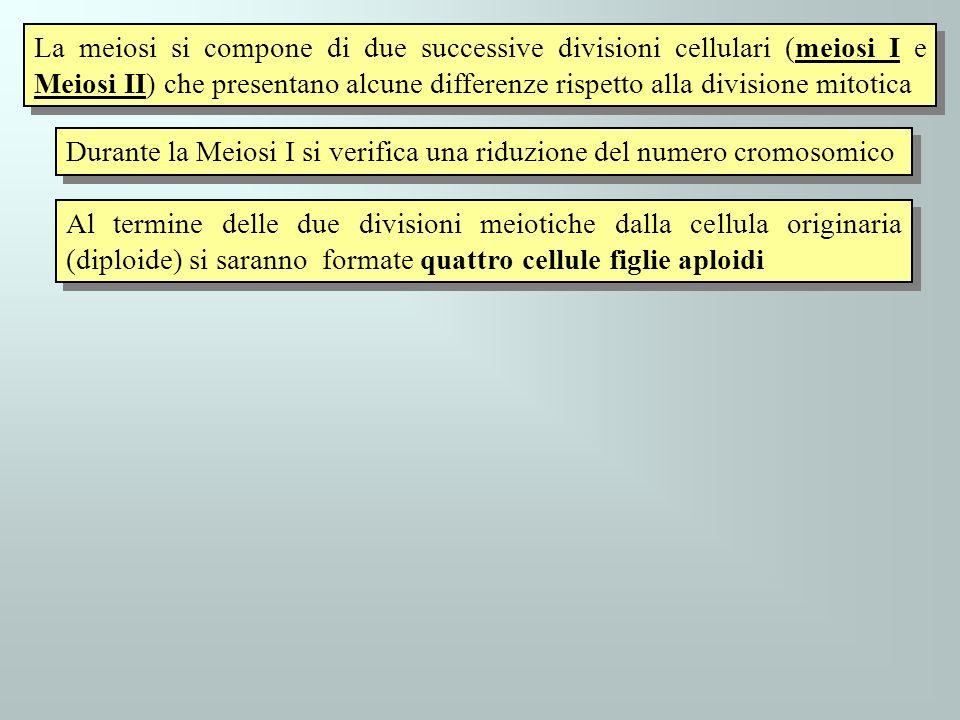 La meiosi si compone di due successive divisioni cellulari (meiosi I e Meiosi II) che presentano alcune differenze rispetto alla divisione mitotica