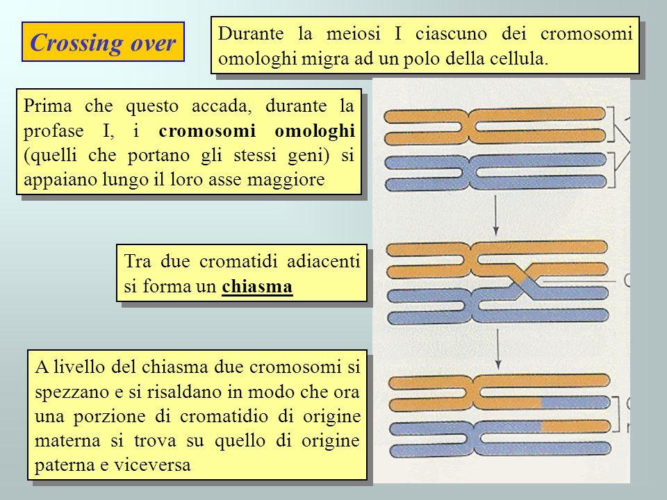 Durante la meiosi I ciascuno dei cromosomi omologhi migra ad un polo della cellula.
