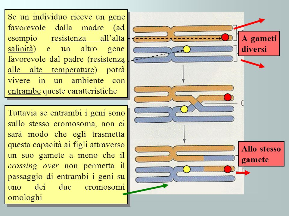 Se un individuo riceve un gene favorevole dalla madre (ad esempio resistenza all'alta salinità) e un altro gene favorevole dal padre (resistenza alle alte temperature) potrà vivere in un ambiente con entrambe queste caratteristiche