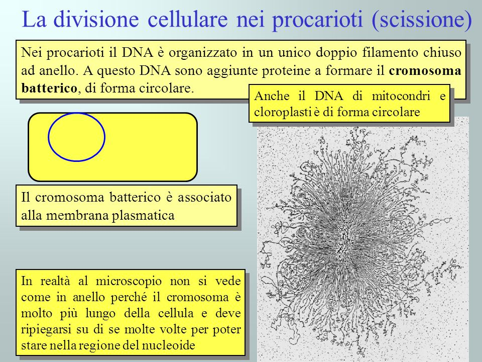 La divisione cellulare nei procarioti (scissione)