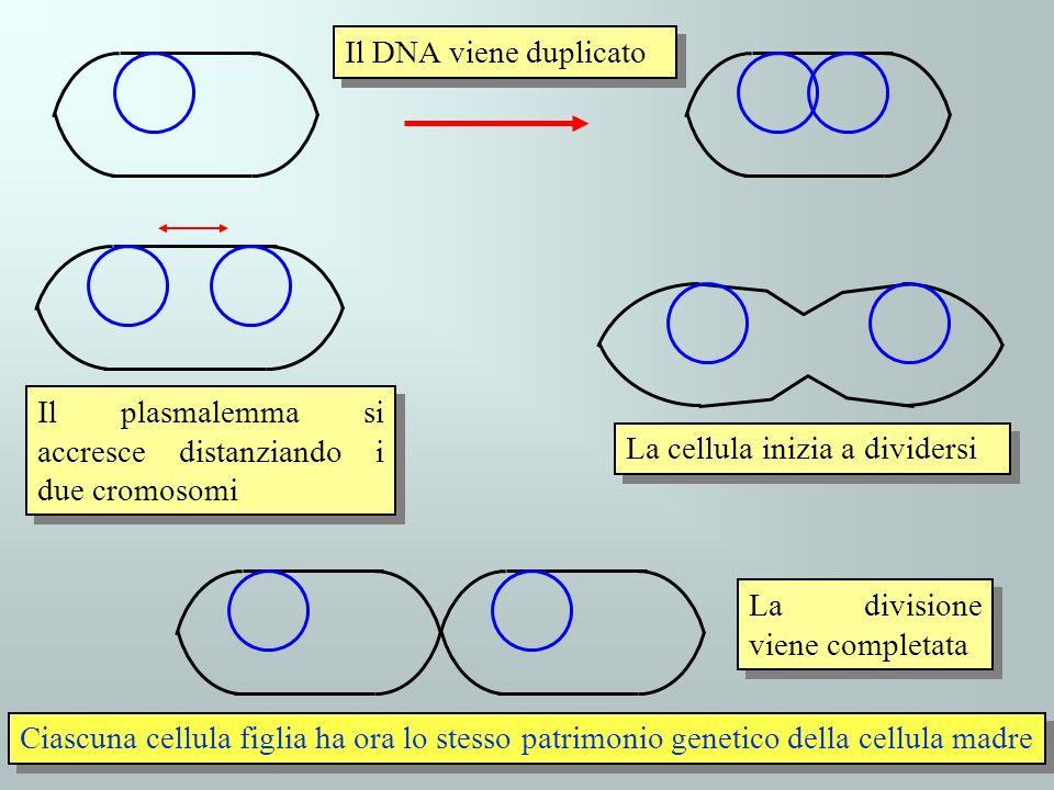Il DNA viene duplicato Il plasmalemma si accresce distanziando i due cromosomi. La cellula inizia a dividersi.