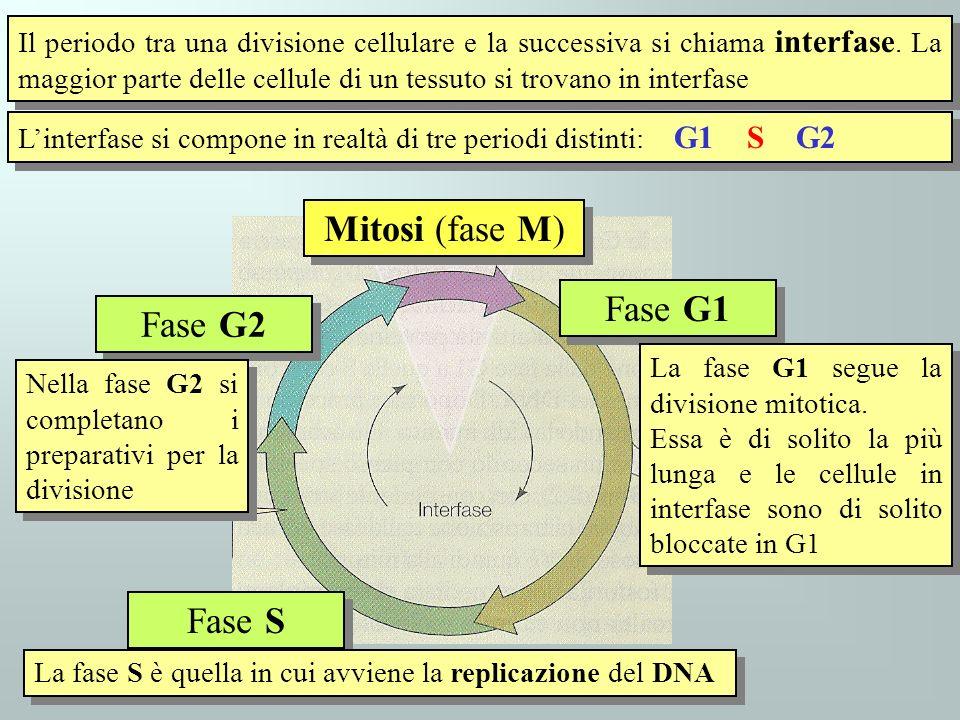 Mitosi (fase M) Fase G1 Fase G2 Fase S