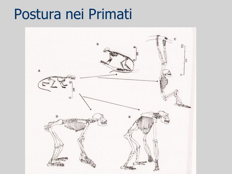 Postura nei Primati